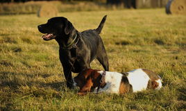 Labrador and basset Royalty Free Stock Image