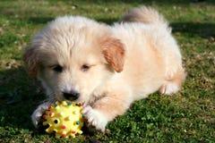 Labrador bawić się na trawie Zdjęcia Royalty Free