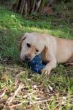 Labrador bawić się outside Obrazy Royalty Free