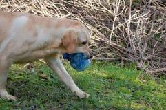 Labrador bawić się outside Fotografia Royalty Free