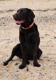Labrador on the beach Royalty Free Stock Photo