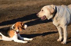 Labrador and beagle dog, detail Royalty Free Stock Image