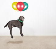 Labrador Being Lifted by Balloons Stock Image