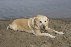 Labrador bij waterkant Royalty-vrije Stock Foto