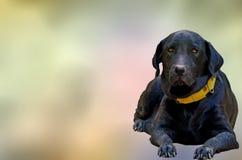 Labrador Black Dog Royalty Free Stock Photos