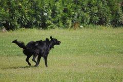 Labrador, black dog walks around and jumps cheerfully on a meadow. Labrador, black dog walks around and jumps cheerfully and happily on a meadow Royalty Free Stock Images