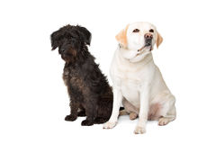 Labrador and a black fluffy dog Royalty Free Stock Image