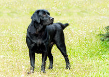 Labrador black looks. Stock Images