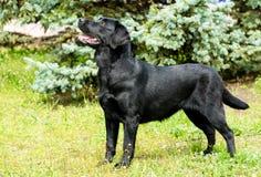 Labrador black waits. Stock Images