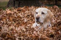 Labrador in bladeren Stock Afbeelding