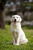 Labrador blanc en parc d'été Image stock