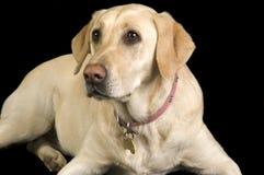 Labrador blanco Fotos de archivo