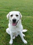 Labrador blanco Fotografía de archivo