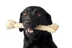 Labrador with bone royalty free stock image