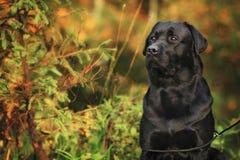 Labrador bonito Fotos de Stock Royalty Free