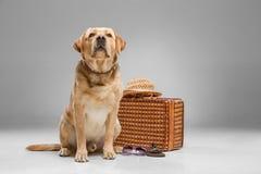 Labrador bonito com a mala de viagem Fotos de Stock