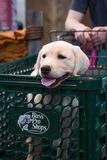 Labrador in boodschappenwagentje stock fotografie