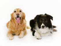 Labrador and border collie dogs. Purebred labrador and border collie dogs isolated on white background in studio royalty free stock photos