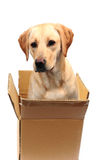 Labrador in a box Royalty Free Stock Image