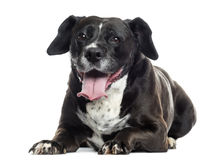 Labrador-boxer crossbreed lying, panting, isolated Stock Photography