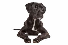Labrador boxer mix dog Royalty Free Stock Photo