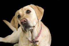 Labrador branco Foto de Stock