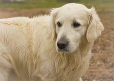 Labrador branco feliz, Fotos de Stock
