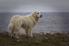 Labrador branco na praia Fotografia de Stock Royalty Free