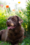 Labrador Stock Photography