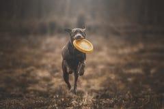 Labrador brun Photographie stock libre de droits