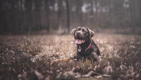 Labrador brun photo stock