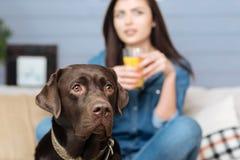 Labrador brun loyal sur la garde Photos stock