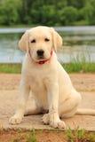 Labrador, cane, cucciolo, animale domestico, sveglio, pallido Fotografie Stock