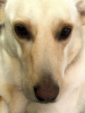 Labrador, cane dell'incrocio di Shepard del tedesco Fotografia Stock Libera da Diritti