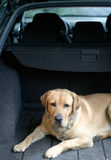 Labrador in the car. Labrador retriever in the car Stock Image