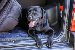 Labrador in car Royalty Free Stock Images