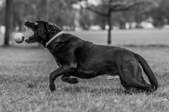 Labrador chasing ball Stock Photography