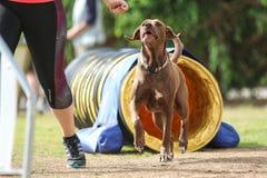 Labrador che fa agilità con il suo proprietario immagini stock libere da diritti