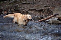 Labrador che gioca con il ramo di albero Immagini Stock Libere da Diritti