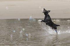 Labrador che insegue le bolle su una spiaggia Immagine Stock