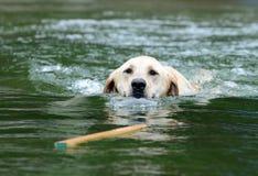 Labrador che richiama bastone in acqua Fotografie Stock