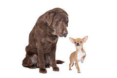 Labrador and Chihuahua Stock Images