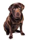 Labrador Stock Photos