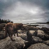 Labrador. Chocolate Lab near the water during lowtide in Maine stock images
