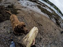 Labrador. Chocolate Lab near the water during lowtide in Maine royalty free stock images