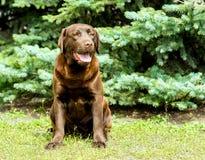 Labrador Chocolate seats. Royalty Free Stock Photos