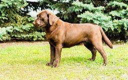 Labrador Chocolate stands. Stock Photos