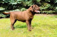 Labrador Chocolate waits. Royalty Free Stock Photography