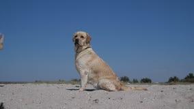Labrador chodzi na plaży zdjęcie wideo