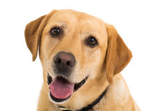 Labrador. Close up picture of a Yellow Labrador on a white background looking at the camera Royalty Free Stock Photography